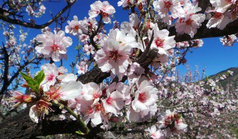 preciosa imagen de la flor del almendro